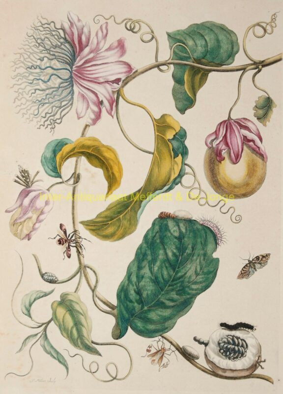 Passion fruit – Maria Sibylla Merian, 1705-1719