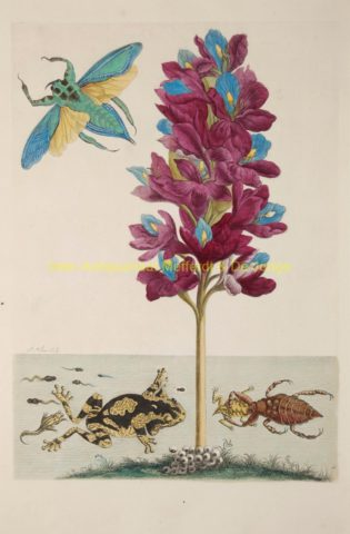 Water plant with water scorpion, frogs and waterbeetle – Maria Sibylla Merian, 1705-1719