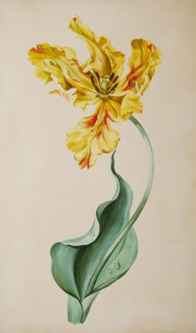 Tulip watercolour – Anonymous, c. 1825