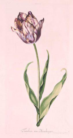 Tulp – Johann Michael Seligmann, voor Christoph Jakob Trew, 1750-1786