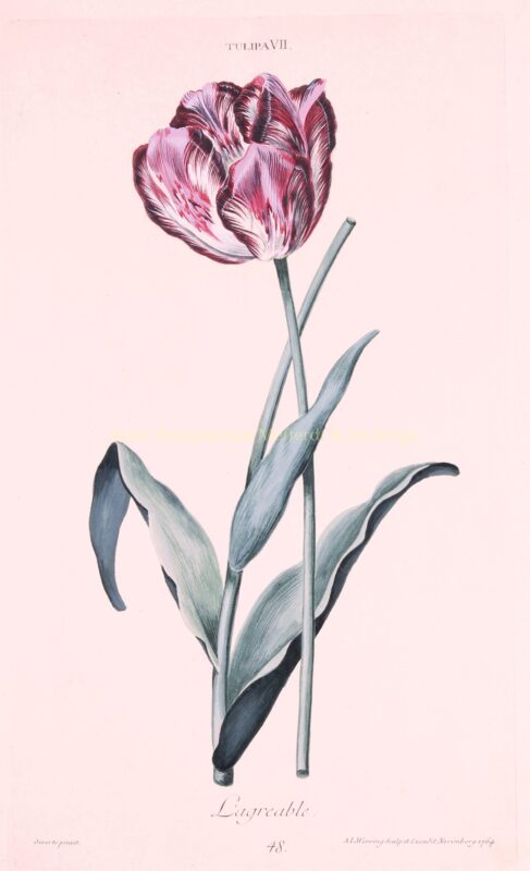 Tulip – Adam Ludwig Wirsing for Christoph Jakob Trew, 1750-1786