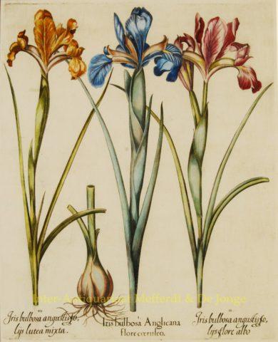 Irisses – Basilius Besler, 1613