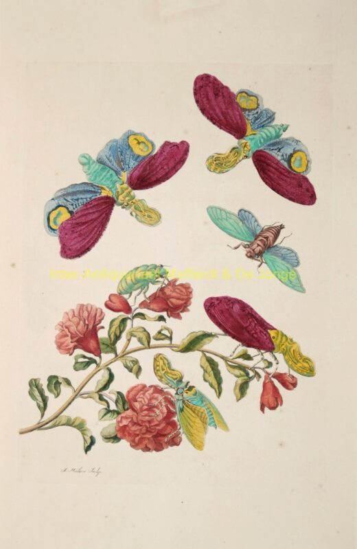 Pomegranate blossom with lanternflies – Maria Sibylla Merian, 1705-1719