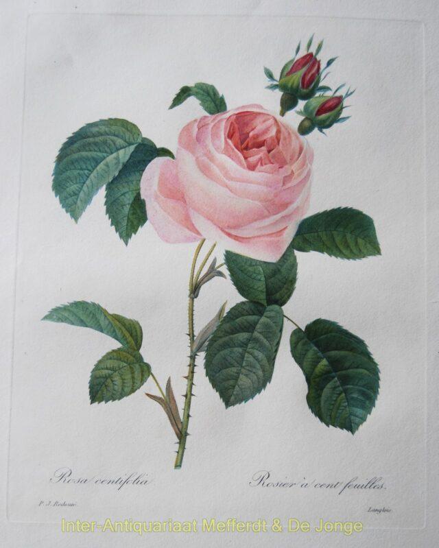 Redouté - Roses: Rosa Centifolia - Rosier a cent Feuilles