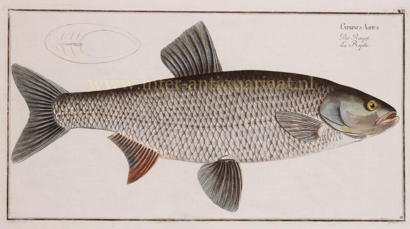 Asp (fish) – Markus Elieser Bloch, 1782-1795