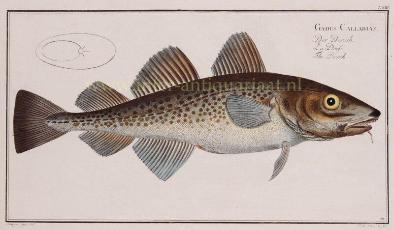 Baltic Cod (Gadus Callarias) – Markus Elieser Bloch, 1782-1795