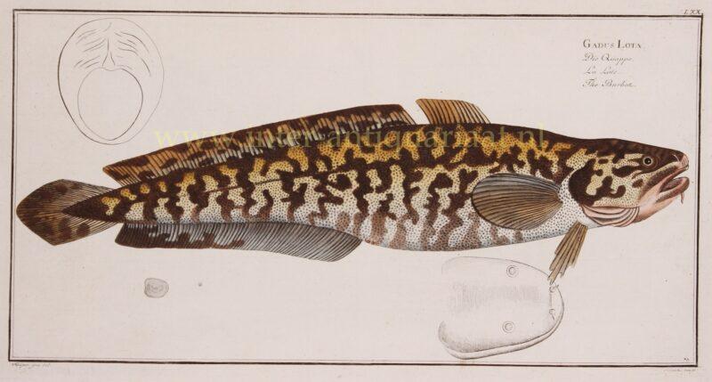 Burbot (fish) – Markus Elieser Bloch, 1782-1795