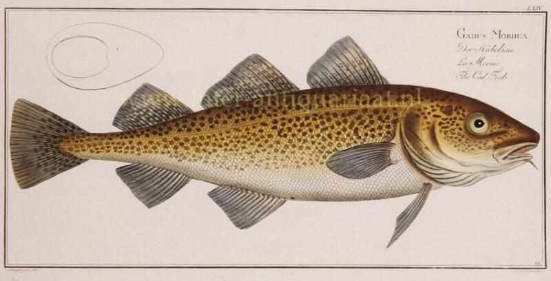 Cod Fish – Markus Elieser Bloch, 1782-1795