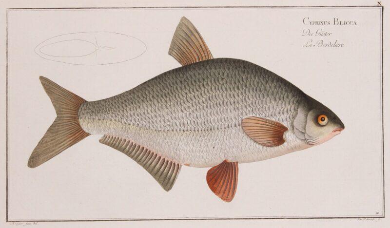 White bream – Markus Elieser Bloch, 1782-1795