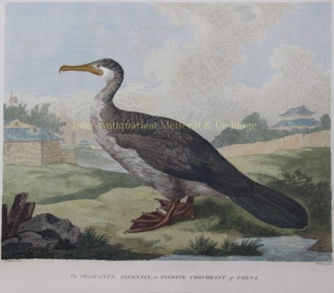 Chinese fishing bird – after William Alexander, 1796