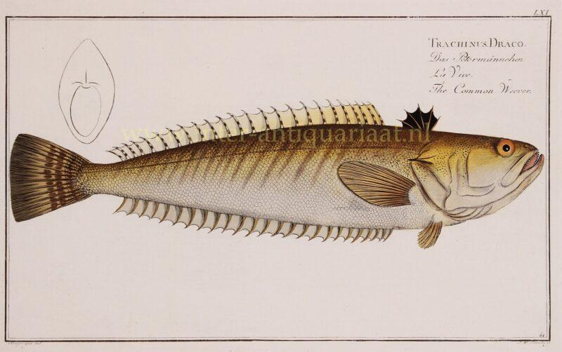 Pieterman vis – Markus Elieser Bloch, 1782-1795