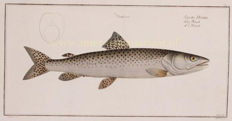Donauzalm – Markus Elieser Bloch, 1782-1795