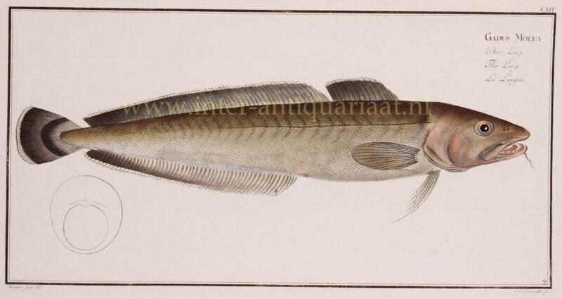 Leng (vis) – Markus Elieser Bloch, 1782-1795