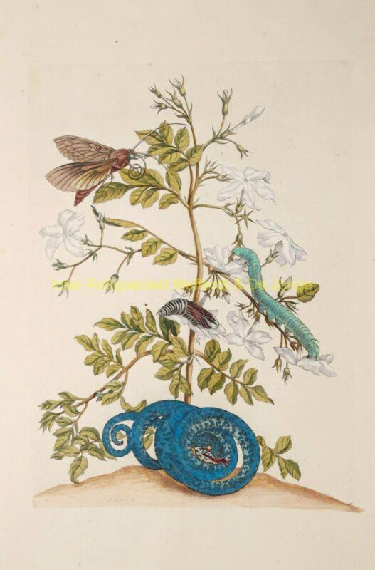 Maria Sibylla Merian – Jasmijn (Jasmine)