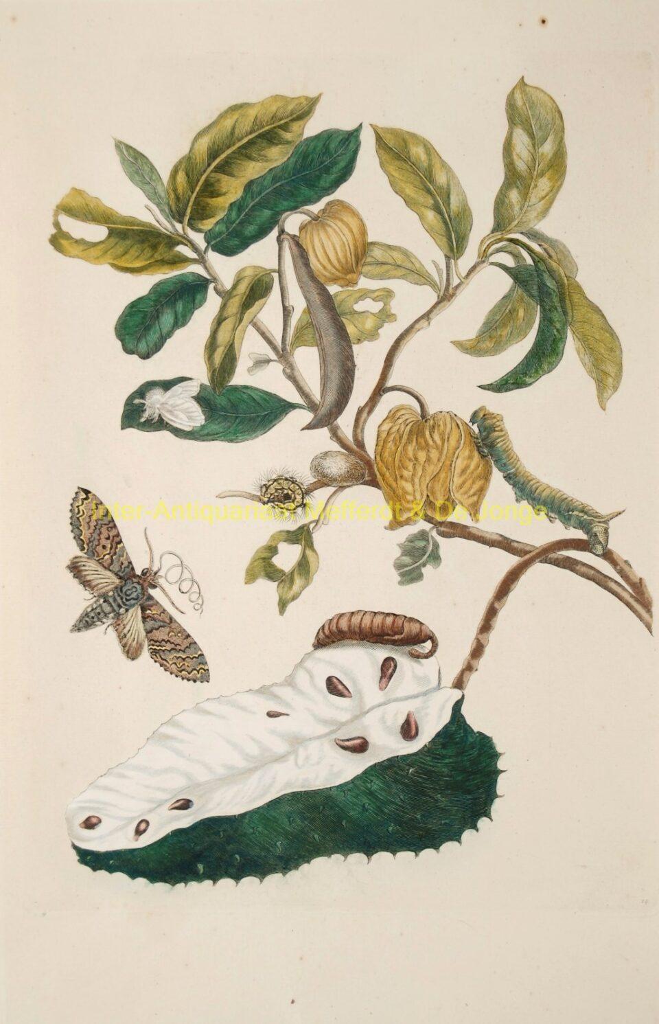 Maria Sibylla Merian - Zuurzak (Soursop with owlet moth)