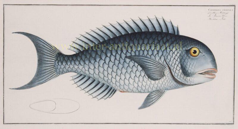 Papegaaivis – Markus Elieser Bloch, 1782-1795
