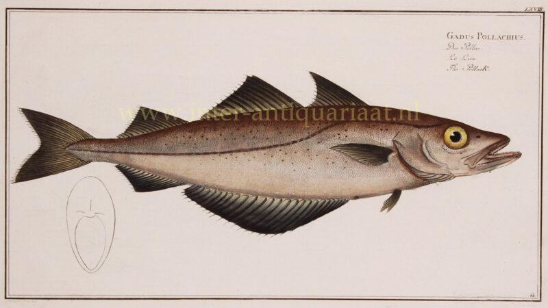 Pollachius (vis) – Markus Elieser Bloch, 1782-1795