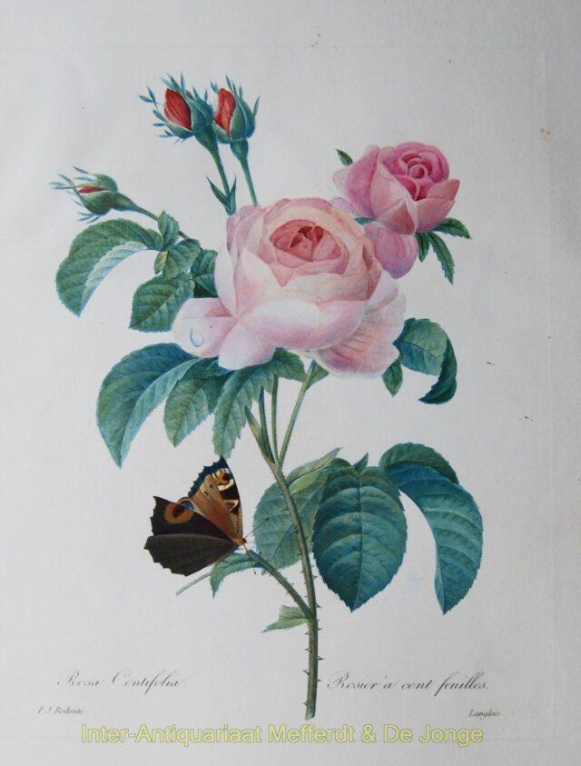 Redouté - Rosa Centifolia - Rosier acent Feuilles