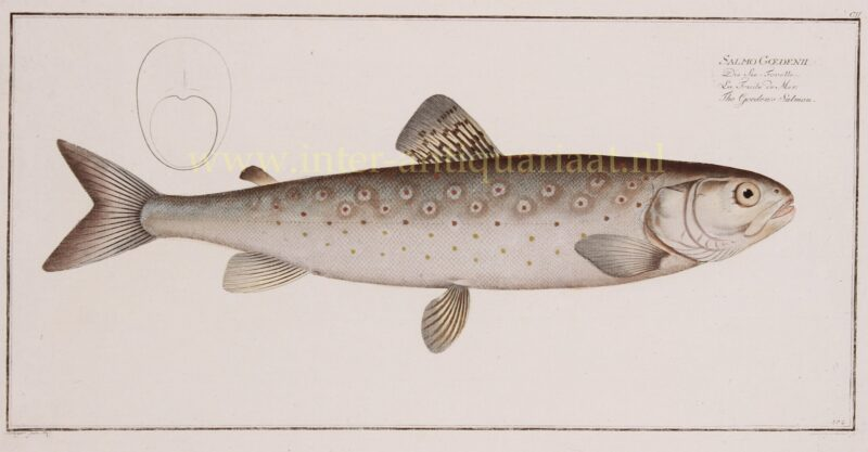 Zeeforel – Markus Elieser Bloch, 1782-1795