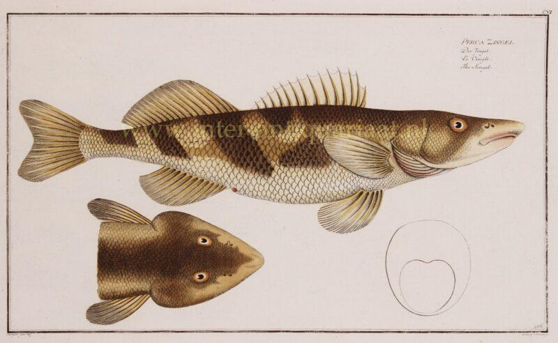 Zingel (vis) – Markus Elieser Bloch, 1782-1795