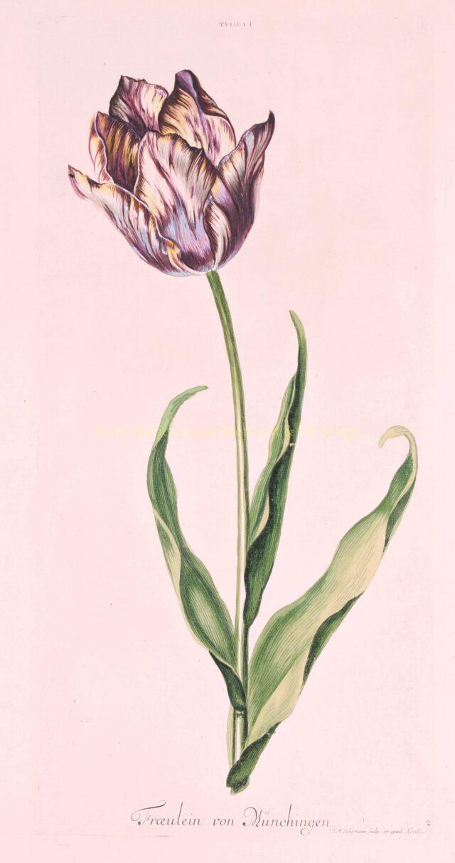 Tulp - Johann Michael Seligmann