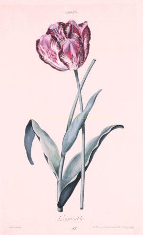 Tulp – Adam Ludwig Wirsing voor Christoph Jakob Trew, 1750-1786