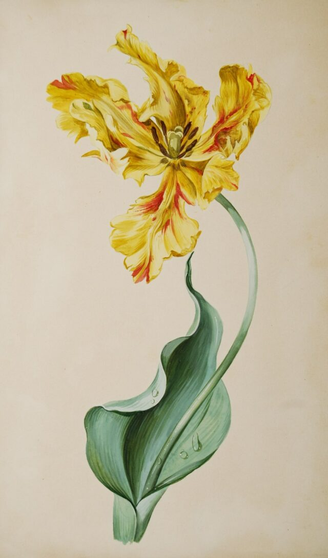 Tulip watercolour - Anonymous