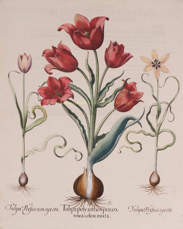 Tulpen – Basilius Besler, 1613