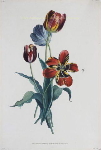Tulpen – Louis Charles Ruotte naar Jean Louis Prévost, 1805