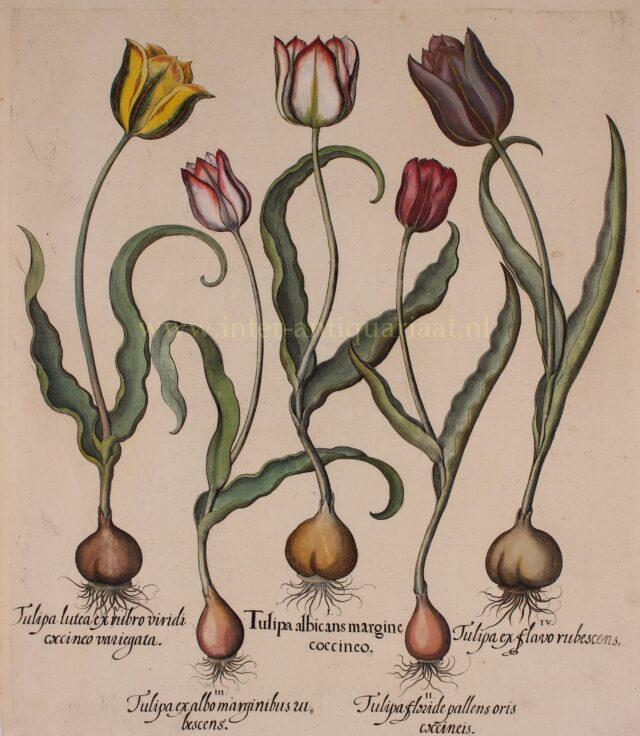 tulpen, begin 17de-eeuw