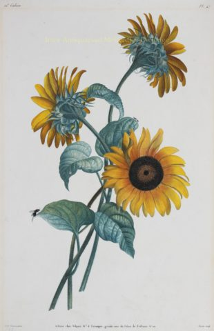Zonnebloemen – Louis Charles Ruotte naar Jean Louis Prévost, 1805