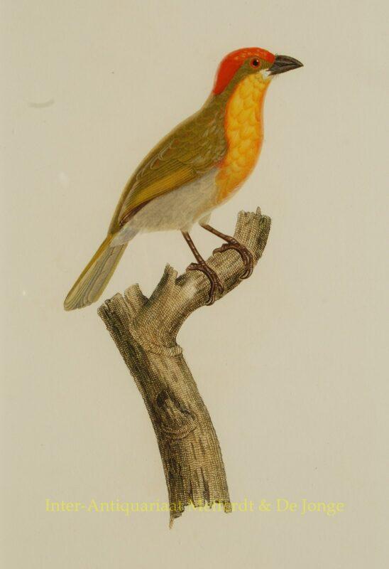 Tropical birds, antique prints – Audebert and Viellot