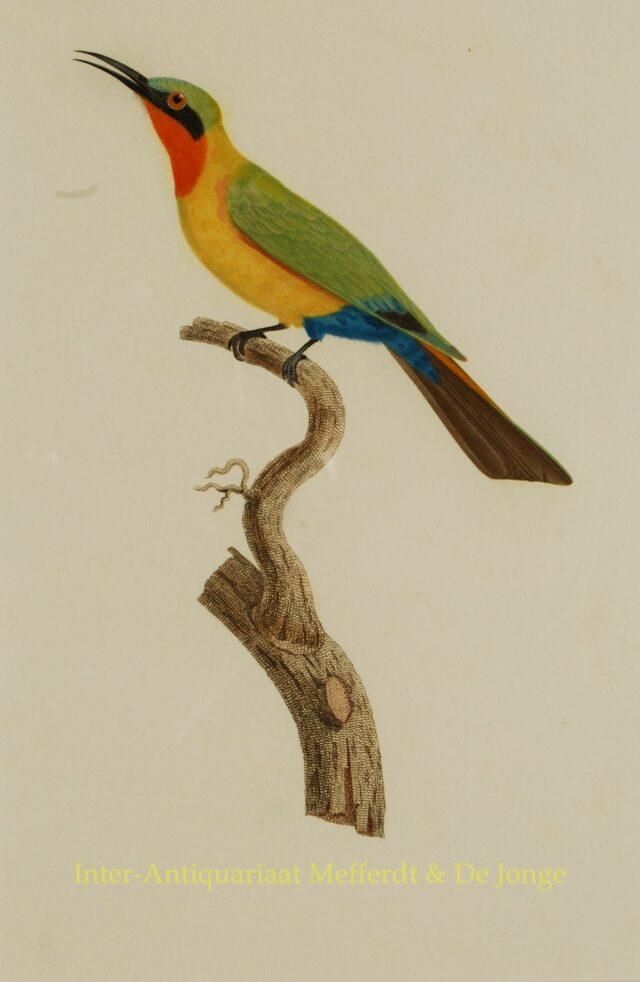 antique prints - Audebert and Viellot